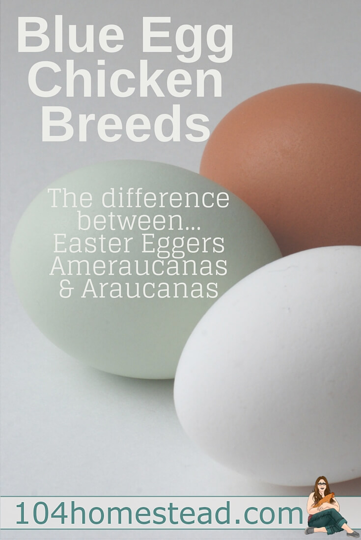 These blue egg laying beauties bring a lot of color to the egg basket, but they leave their owners wondering what type of bird they truly are. Find out the differences between Araucana, Ameraucana and Easter Egger.