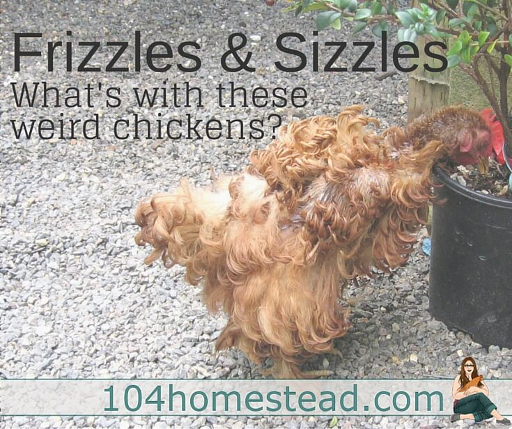 A frizzle is a chicken whose feathers curl upward. This upward curling is created by a gene. A frizzle looks like no other chicken. Sizzles are the same, but soft.