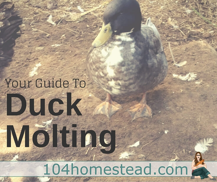 Duck Molting Phases, shared by 104 Homestead