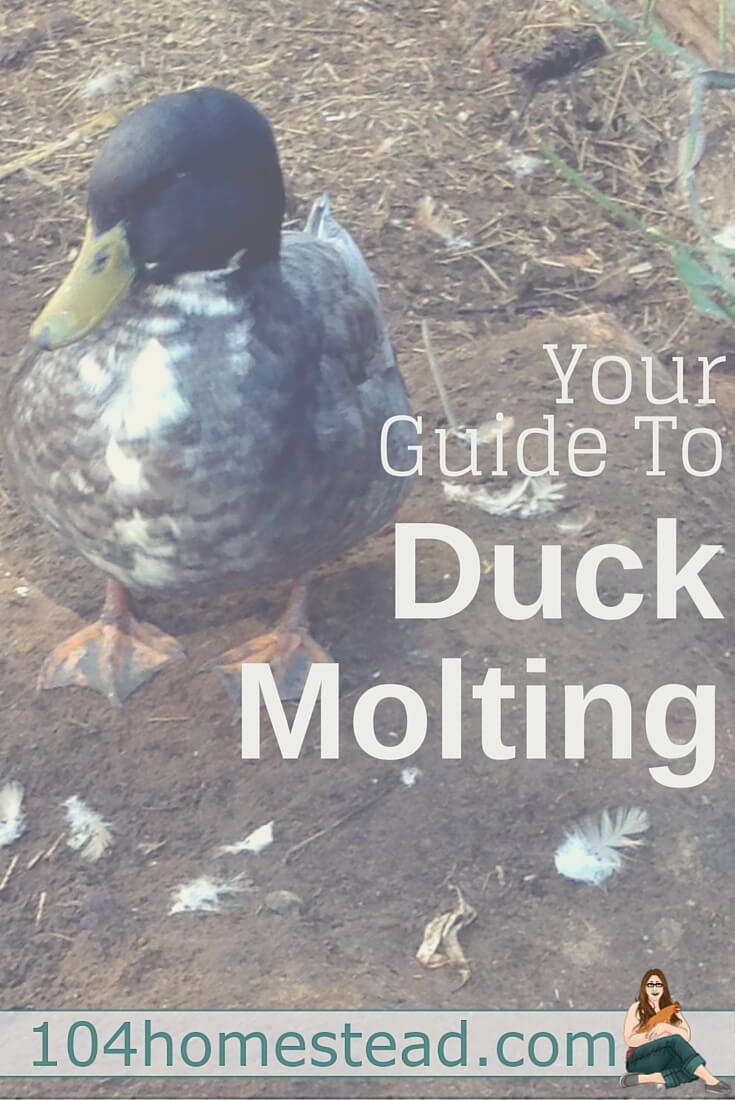 Ducks actually have a couple of molting phases and each one looks different. The effects are most obvious in drakes. Spring, summer and fall molts.