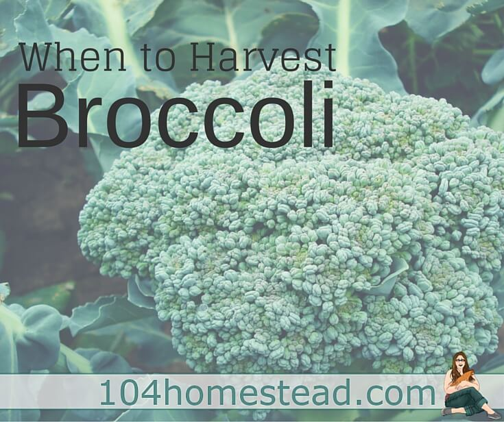Broccoli is a vegetable that I find incredibly difficult to harvest. It's not actually the harvesting part that is difficult, it's the timing that's hard.
