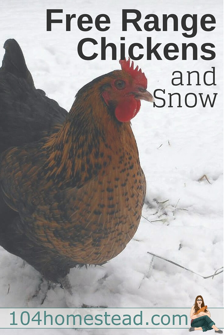 With a small flock of free range chickens, it's easy to shovel a small area for the chickens to graze. With a larger flock, it's harder to supply adequate space.