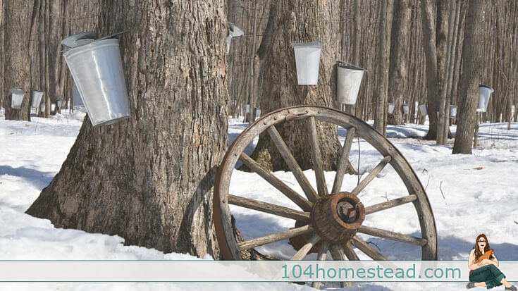 You can tap many types of trees for syrup. The list is quite long and includes all varieties of maples as well as walnuts, birches, sycamores and ironwoods.