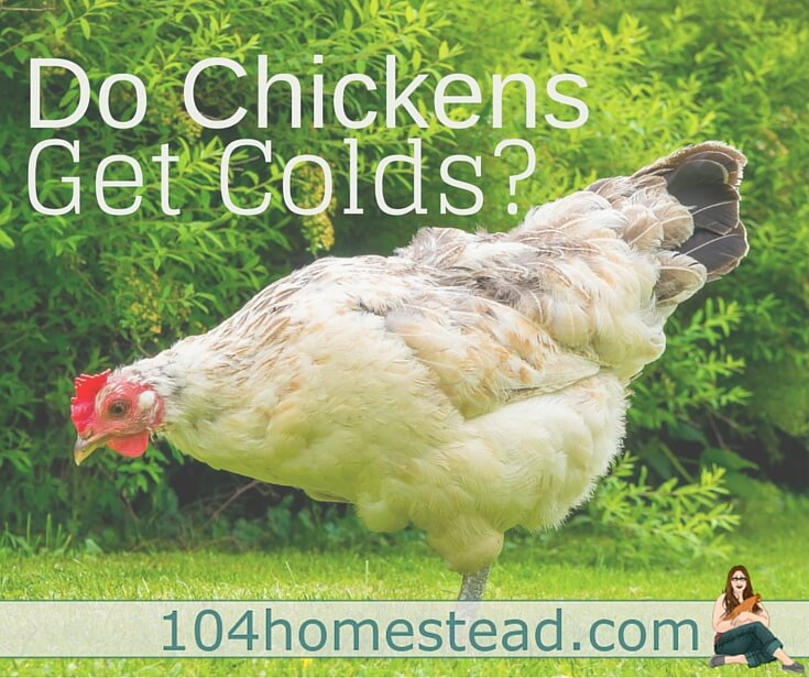 I am often asked by readers and local chicken keepers if chickens get colds. That is a great question and one I found myself wondering when I first began keeping chickens.