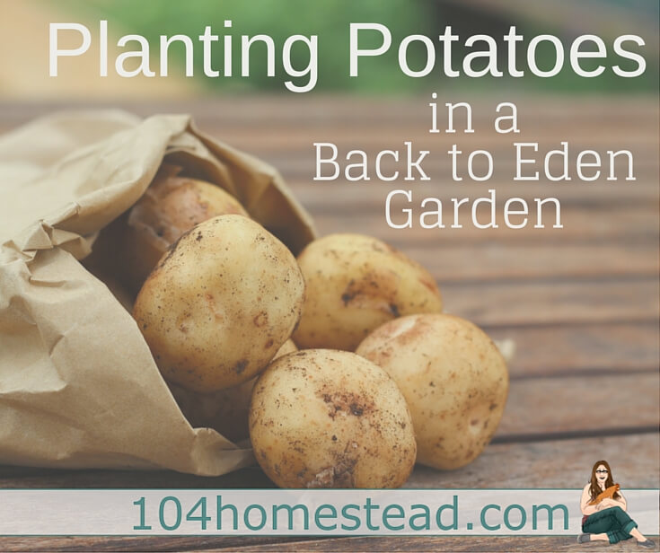 Planting potatoes in a Back to Eden garden increases your yield and produces a cleaner and less marred harvest. Discover how to plant your potatoes using BTE.