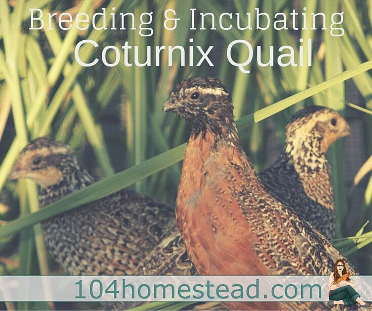 The internet would have you believe that incubating and brooding Coturnix quail is difficult. I'm here to let you in on a secret... it's not.