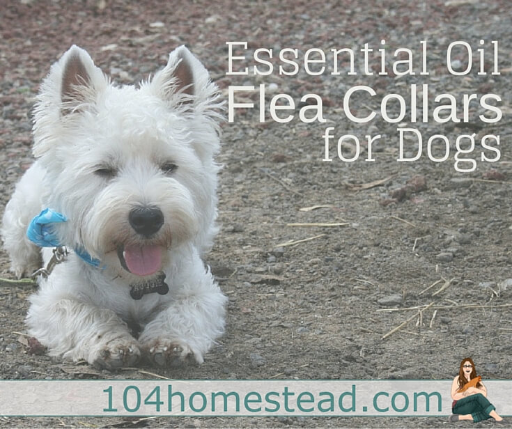 Essential oil flea collars are a great alternative to commercial collars that are full of harmful chemicals and smell terrible. These are cheap and easy to make.