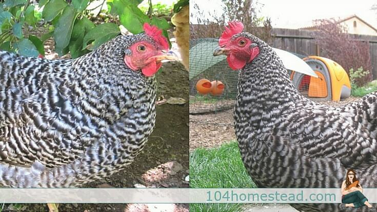 Left: Dominique with a rose comb. Right: Barred Plymouth Rock with a single comb.