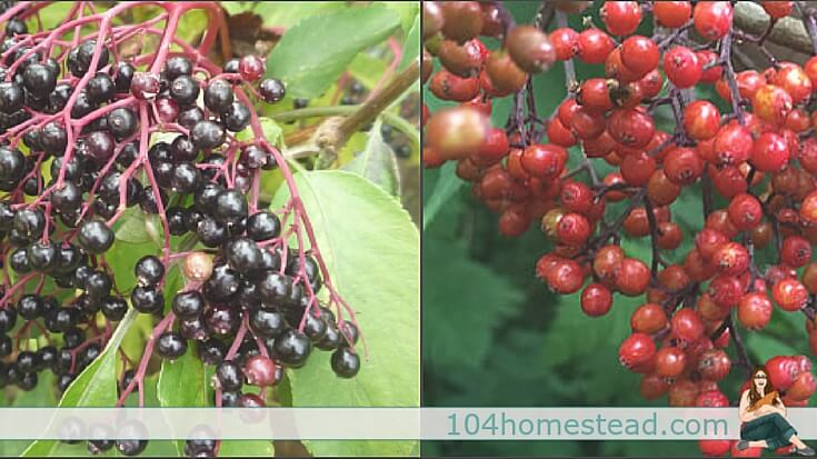 Be sure to properly identify the species of elderberry before using. Sambucus nigra (left) is safe for medicinal use. Sambucus racemosa (right) is highly toxic.
