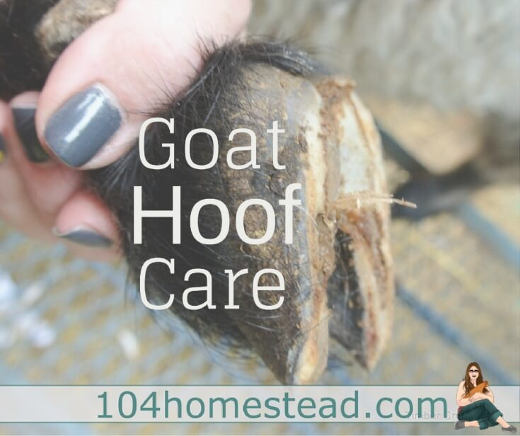 Goat hoof care begins early in life and is a regular part of a maintaining a healthy herd. It's an important part of your goat's maintenance routine.