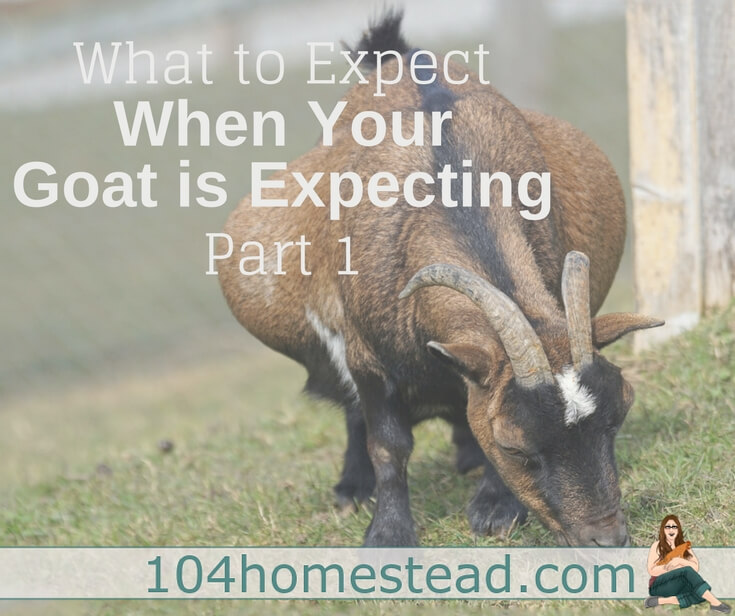 What to Expect When Your Goat is Expecting (Part 1)