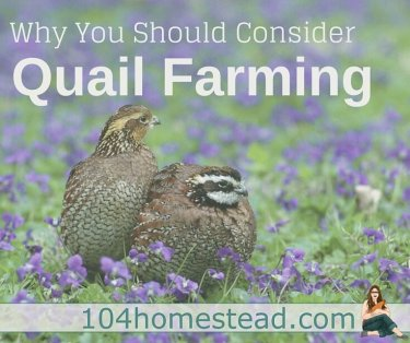 If you live in a location where ordinances prohibit keeping chickens and ducks, then quail may be right for you. Why you should consider quail farming.