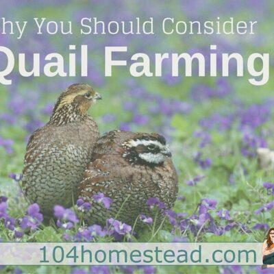 Quail Farming on a Small Homestead