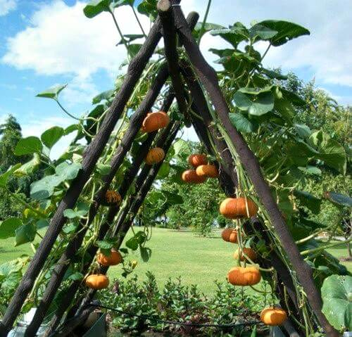 A neat way to grow pumpkins in a small space.