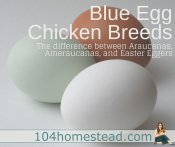 Blue Egg Chicken Breeds