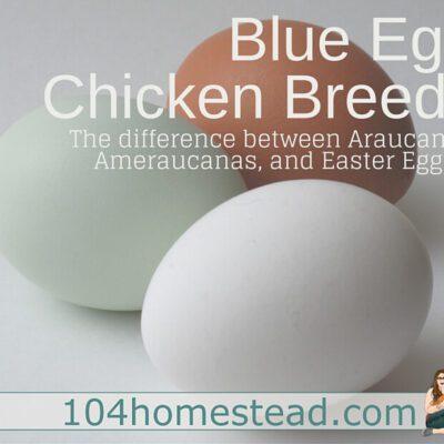 Blue Egg Chicken Breeds