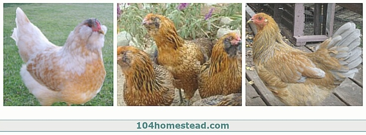 Some examples of the variety in Easter Eggers.