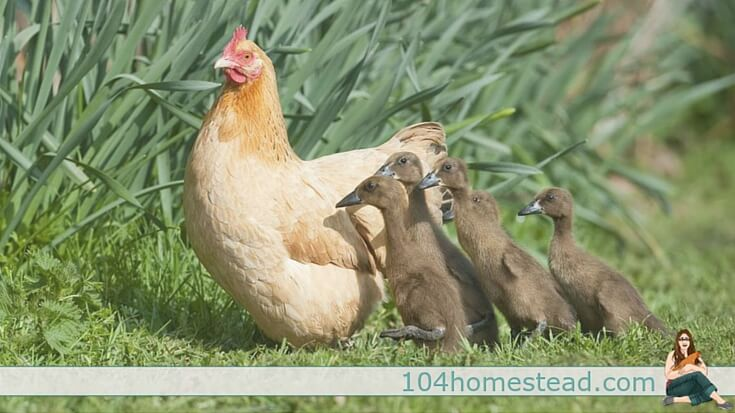 Between size differences, care differences and potential problems with diseases, is multi-flock housing safe? Quail, ducks, large fowl, bantams and more.