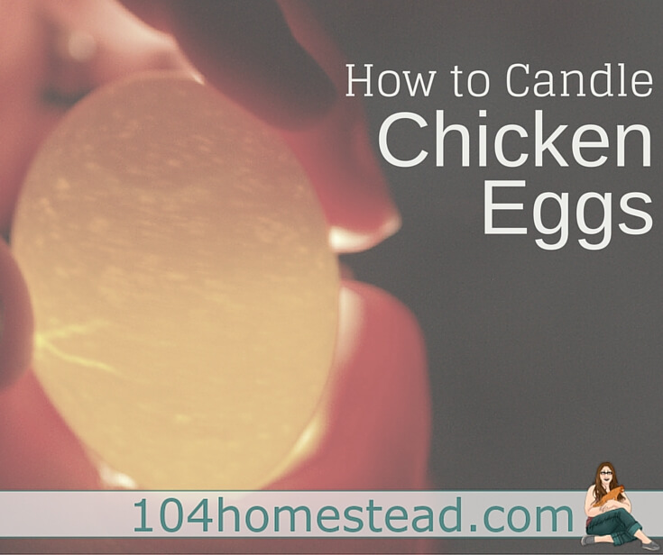 Learn what you need to candle, how to candle, when to candle and what you are looking for when you are candling chicken or duck eggs.