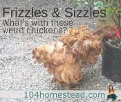 What Is a Frizzled Chicken? Sizzled Chicken?