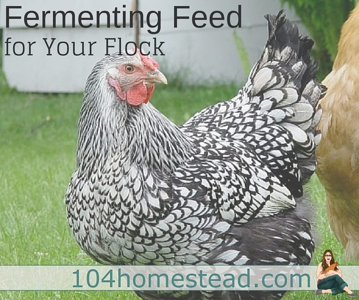 Fermented chicken feed is great for saving money and it helps with the birds' digestion. Great when you need to shave off a few bucks from your poultry bills.