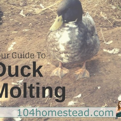 Seasonal Guide to Duck Molting