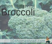 When to Harvest Broccoli