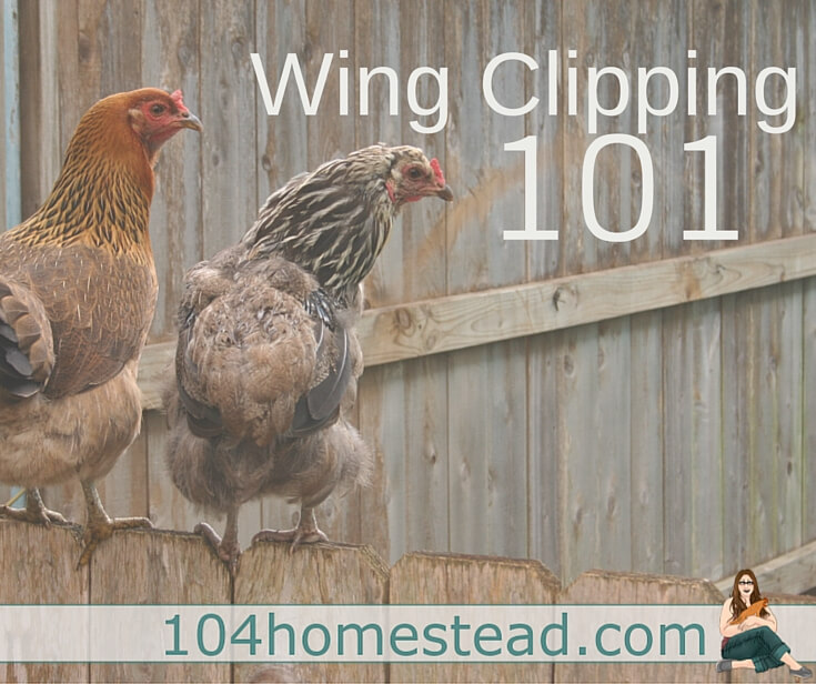 Wing clipping can be scary, but it might be something you need to consider for your chicken's safety. Here are answers to some of the frequent questions that come along.