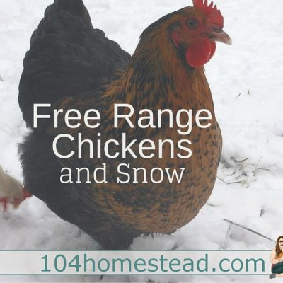 Where to Free Range Chickens in Winter