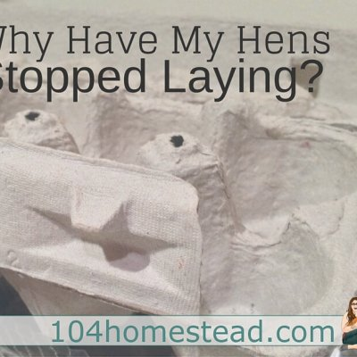 Why Hens Stop Laying Eggs