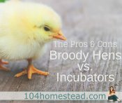 Broody Hens vs. Incubators