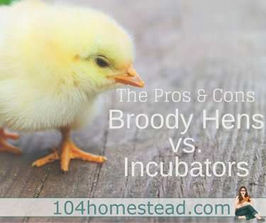 Find out which method of hatching is best for you and your situation. Both the use of incubators as well as broody hens has pros and cons. Find out what they are.