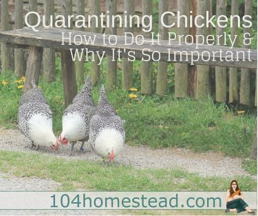 Learn why you should never risk introducing new birds without quarantining. Learn how to properly quarantine so you can keep your flock safe and healthy.