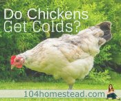 Do Chickens Get Colds?