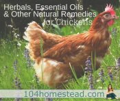 Using Herbs & Essential Oils with Your Backyard Chickens
