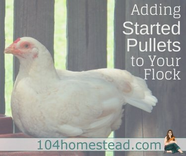 Started pullets are teenage female chickens. Since chickens begin laying at around 6 months of age, you have a much shorter wait before you start getting eggs.