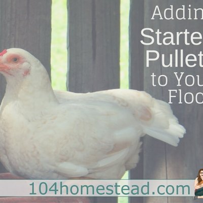 Adding Started Pullets to Your Flock