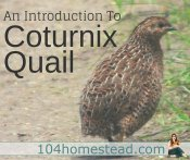 Why You Should Raise Coturnix Quail