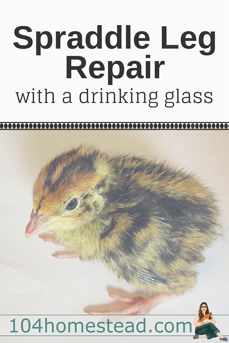 "Spraddle leg, also referred to as splay leg, is a condition where a chick's legs ""splay"" out to the sides. It can often be repaired with a drinking glass."