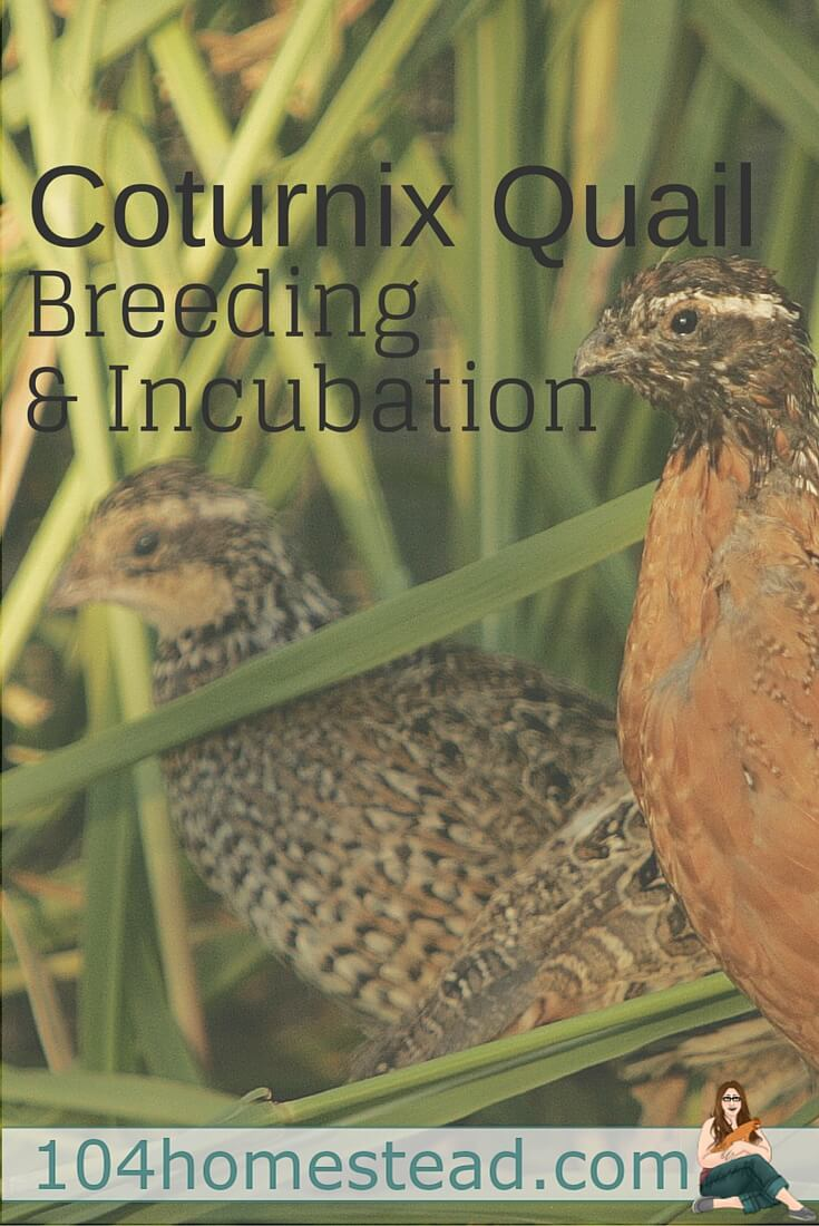how to incubate and brood coturnix quail