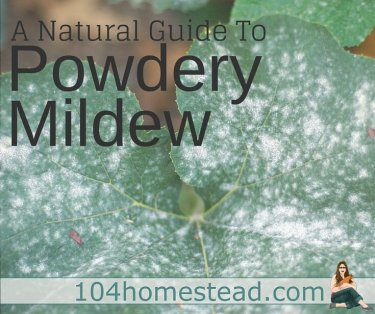 Powdery mildew is one of the most common garden problems and it affects gardeners from coast to coast. Enjoy these natural powdery mildew treatments.