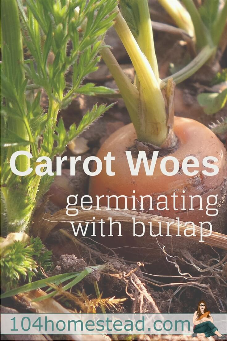 Burlap saves you from many of the struggles that come with carrot starting: soil drying out, seeds being unearthed, ants destroying your emerging seedlings.
