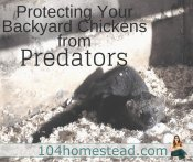 How to Protect Your Backyard Chickens from Predators