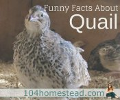What Is My Quail Doing? Odd Behavior in Quail