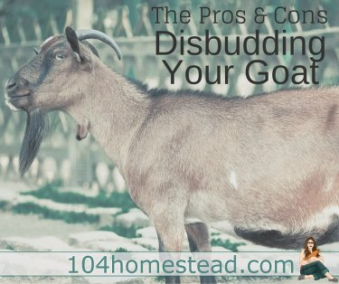 Disbudding, the procedure of burning off the horns, is unpleasant. Every time we disbudded our goat kids we would ask ourselves, Is this necessary?