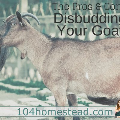 Pros and Cons of Disbudding Your Goat