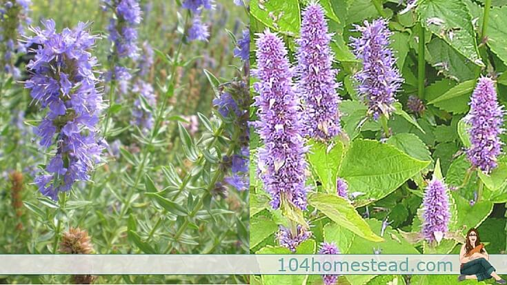 Hyssop Why You Need to Make Some Space for This Herb