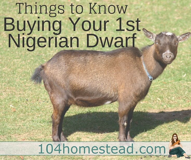 Nigerian Dwarf Goats 101: Getting Started
