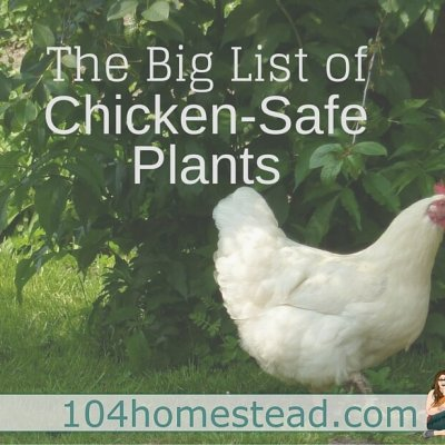 The Big List of Chicken-Safe Plants for In & Around Your Coop