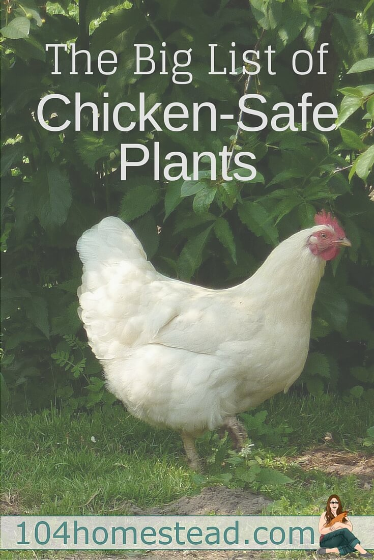 It can be very challenging to find plant options that can be used in your chicken area. I have compiled a list of plants that are deemed chicken-safe.